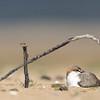 Red-Capped Plover (Charadrius ruficapillus) female nesting.