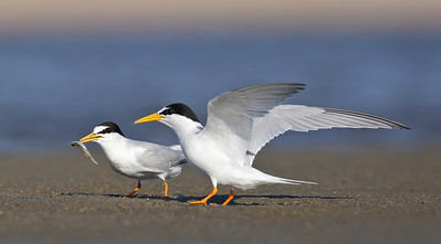 Little Tern (Sternula albifrons) adults in breeding plumage.