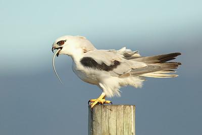 Black-Shouldered Kite (Elanus axillaris).