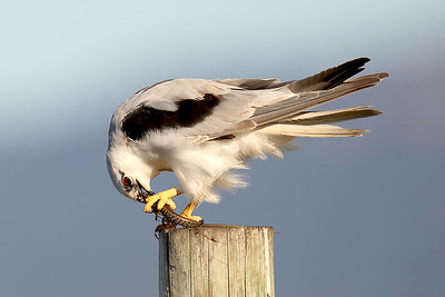 Black-Shouldered Kite (Elanus axillaris) with breakfast