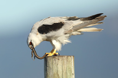 Black-Shouldered Kite (Elanus axillaris).