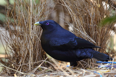 Mature Male Satin Bowerbird (Ptilonorhynchus violaceus) at his bower