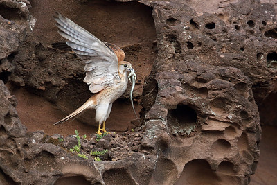 Nankeen Kestrel (Falco cenchroides) female with prey