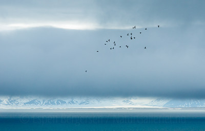 Little Auk (Alle alle). Flock flying. Svalbard. Norway. June.