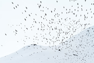Little Auk (Alle alle). Flock flying outside the colony in Hornsund, Spitsbergen, Svalbard. Norway. June.