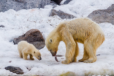 The Polar bear (Ursus maritimus) populations are treathened by global warming melting the ice that they are so dependent upon.