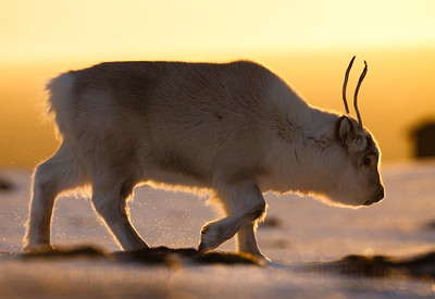 Svalbard reindeer (Rangifer tarandus platyrhynchus) walking in golden light. Svalbard, Norway. April.