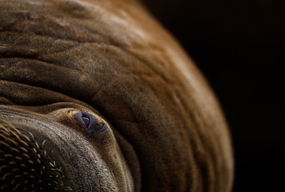 """This portrait shows a walrus photographed on Svalbard, Norway. I have tried to get a """"different"""" portrait, which is not so easy. The dark background is the body of another walrus that lay in the shade. I lay down flat on the beach to get better """"contact"""" with the walrus. The walrus seemed to be relaxed with the situation, sometimes closing the eye."""