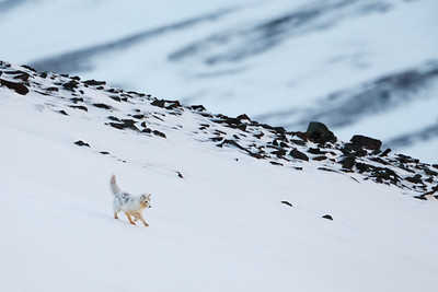 Arctic fox (Vulpes lagopus). Svalbard, Norway. April