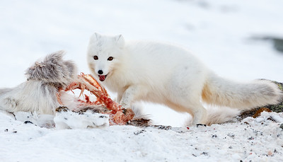 Arctic fox (Vulpes lagopus) feeding on a dear reindeer. Svalbard, Norway.