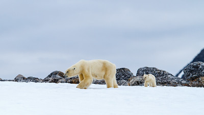 Polar bear (Ursus maritimus). Mother with cub walking. Spitsbergen, Svalbard, Norway. July