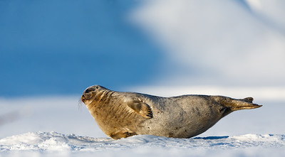 Ringed seal (Pusa hispida) looking at its escape hole in the sea ice. Svalbard, Norway