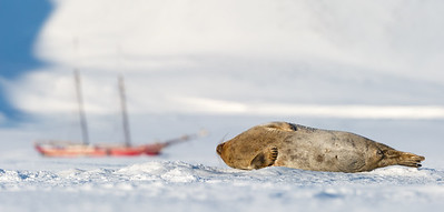 "Ringed seal (Pusa hispida) on the sea ice at Tempelfjord, Svalbard, Norway. The sailboat ""Norderlicht"" in background."