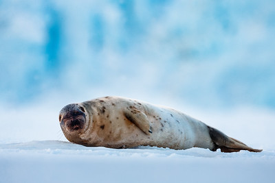Sleepy Ringed seal (Pusa hispida) on the Tempelfjord, Svalbard, Norway