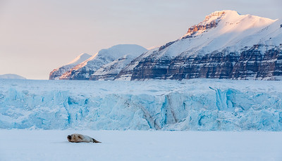 Ringed seal (Pusa hispida) on the sea ice at Tempelfjord, Svalbard, Norway.
