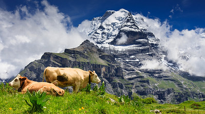 Relaxing cows and the majestic Jungfraujoch peak !