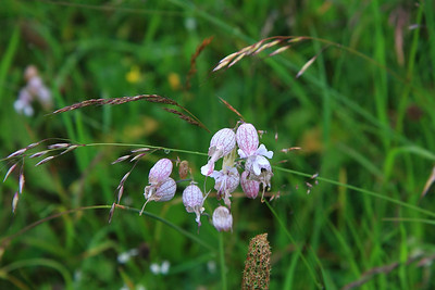 bladder campion, Alpine flower