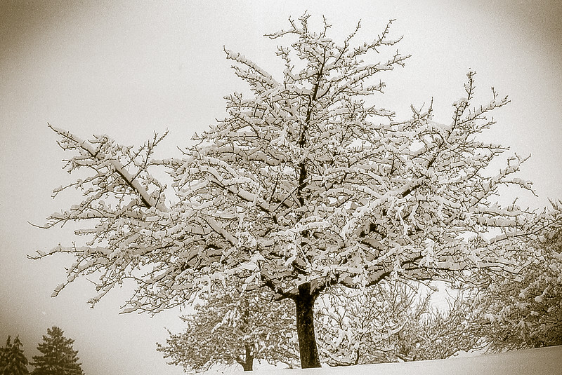 Tree in a snowstorm.