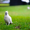 A wild Sulphur-crested Cockatoo