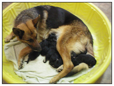 Sysco von Orumhaus and her newborn pups on 11/25/2013