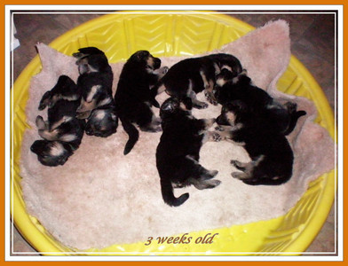 Puppies at 3 weeks old