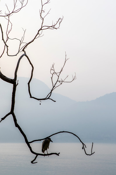 Silhouette of a black crownd night heron on a branch along the Sun Moon Lake in the early morning - Taiwan - Asia