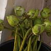 AYUTTHAYA. BURMESE TEMPLE. LOTUS FLOWERS.