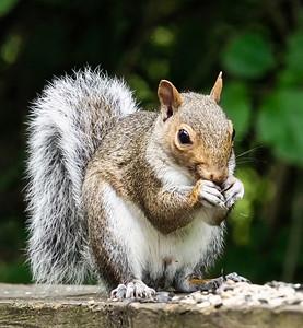 Mr. Chipmunk dining