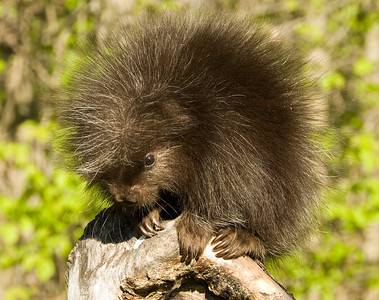 Porcupine...young