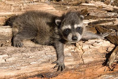 Raccoon...baby