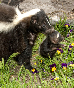 Mother Skunk and child