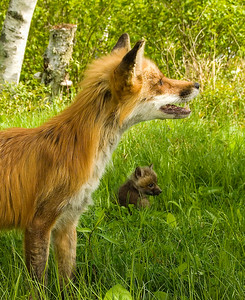 Mother Fox and Kit
