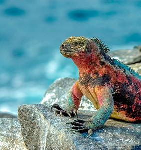 Iguana_Galapagos Islands