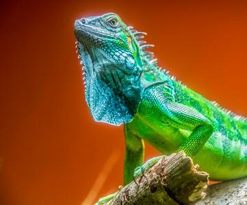 Iguana_Costa Rica