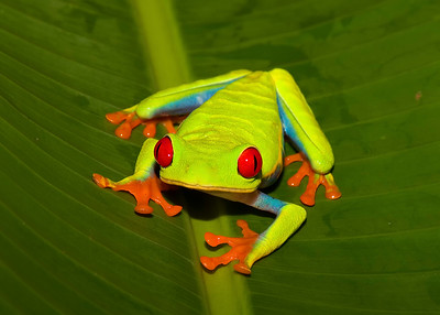Red Eyed Tree Frog_Costa Rica