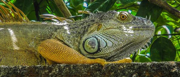 Igguan_Costa Rica