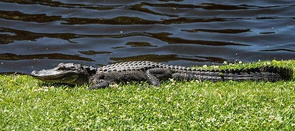 Alligator_South Carolina
