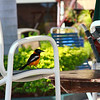 Resident bird visits the pool area at Casa del Mar, Aruba-2014