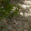 <center>IMG#00053 Island Iguana...blending in Casa del Mar, Aruba<center>