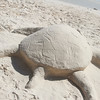 Sea Turtle completed from sand on Eagle Beach, Aruba-2014