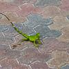 <center>IMG#0049 Island Iguana...Small fella, Casa del Mar, Aruba<center>
