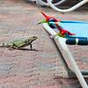 Island Iguanas visit poolside at Casa del Mar, Aruba-2014
