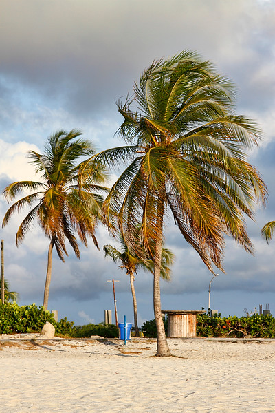 Palm trees in the wind at Eagle Beach, Aruba-2014