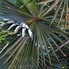 Palm Tree Fans-Key West, Fla. 4/23/14