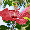 Hibiscus Bloom...Key West, Fla. 4/23/14