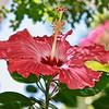 Hibiscus Bloom...Key West, Fla. 4/23/14