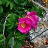 <center>IMG#1241 Wild Shrub Roses Newport, Rhode Island<center>