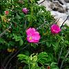 <center>IMG#1240 Wild Shrub Roses Newport, Rhode Island<center>
