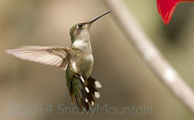 HummingBirds 25