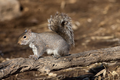 Classic squirrel tail position